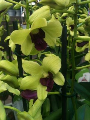 orkideutställning1b