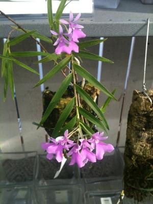 orkideutställning1c