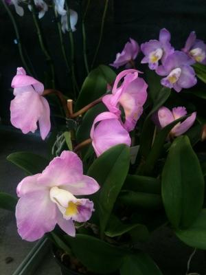 orkideutställning1d