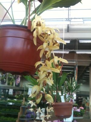 orkideutställning1f