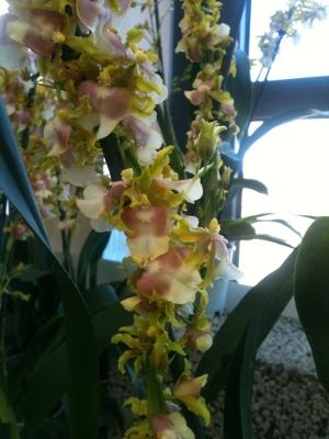 orkideutställning1g