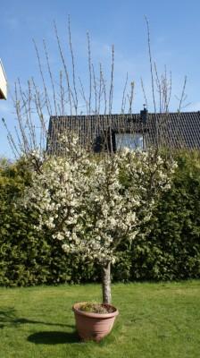 plommonträd med vattenskott