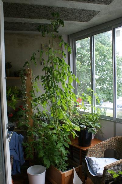 tomatodling på balkong