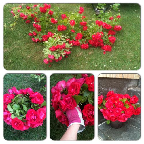rosor i kruka
