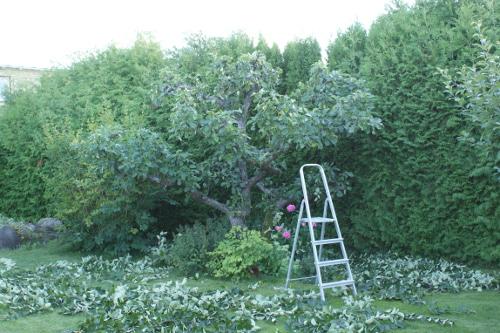 beskära äppleträd
