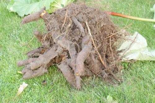 rabarberrötter