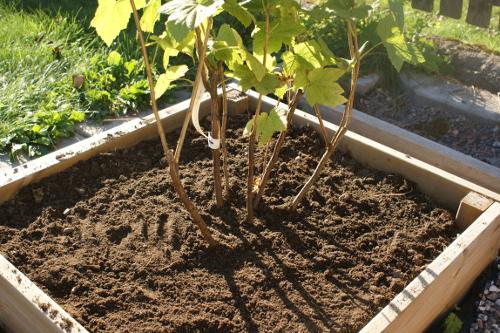 plantera röda vinbärsbuskar