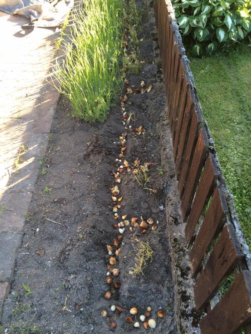 tulpanlökar plantering