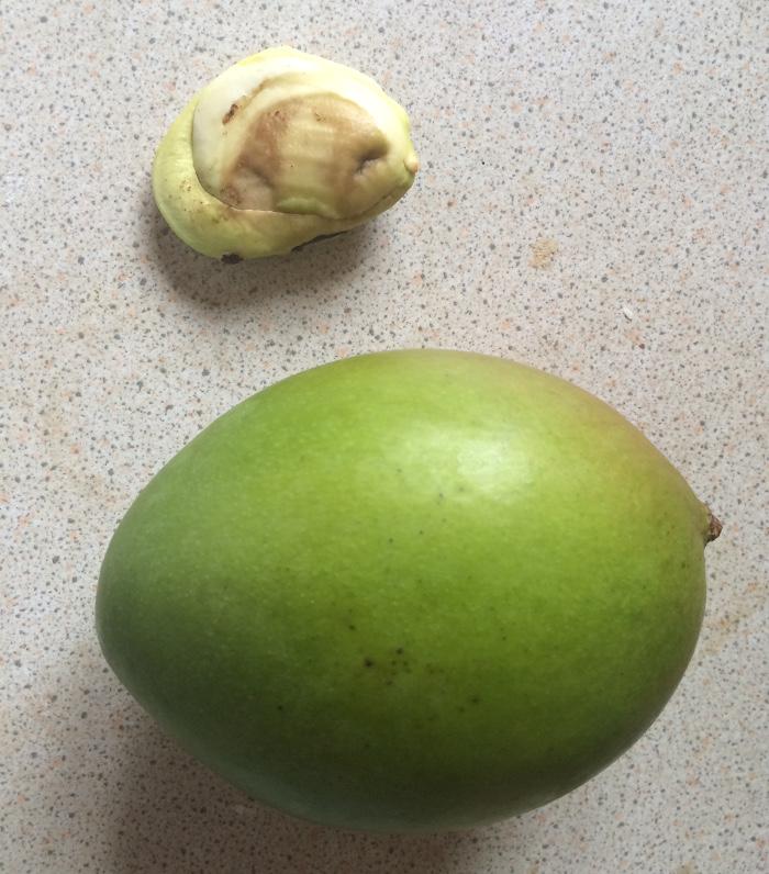odla mango1a